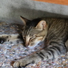 御誕生寺の猫