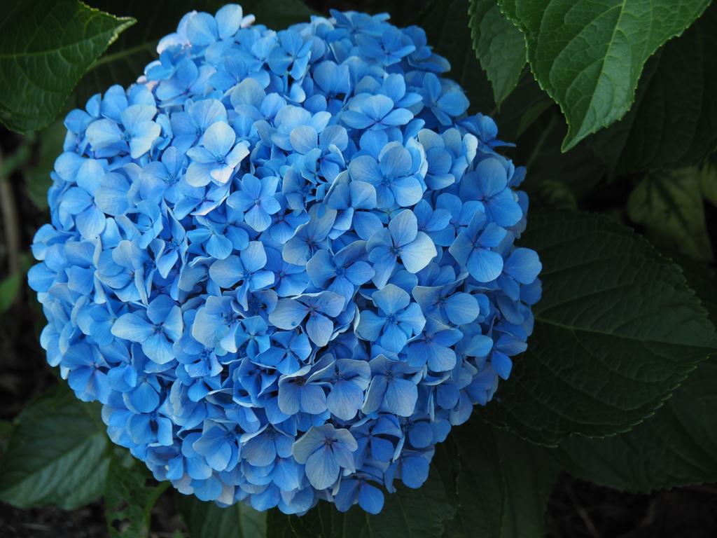 大玉紫陽花