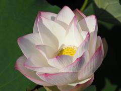 蓮の花15