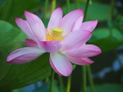蓮の花12