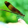 指に乗る蜻蛉