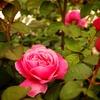 カントリーパークのバラ