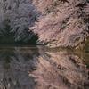 山形の桜5(4月の備忘録)