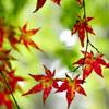 夏の赤紅葉