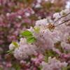 伊香具神社の八重桜