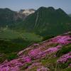 九重 平治岳のミヤマキリシマ