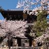 金戒光明寺の桜
