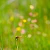 ハッチョウトンボと湿地の花畑