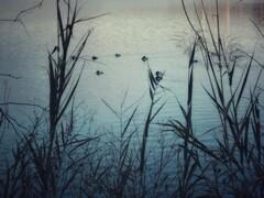 羽を休める水鳥