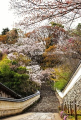 奈良 長谷寺の桜