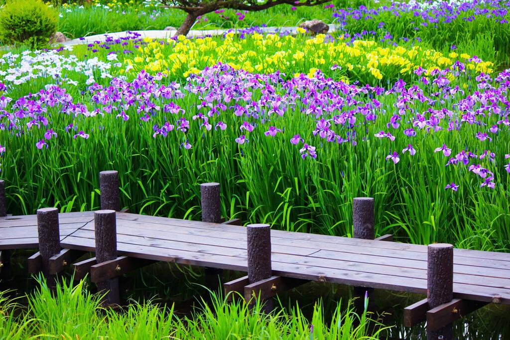 近所の菖蒲園