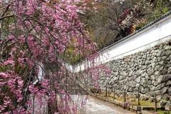 長谷寺の枝垂桜