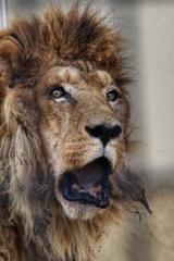 老ライオン