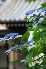 寺院に咲く
