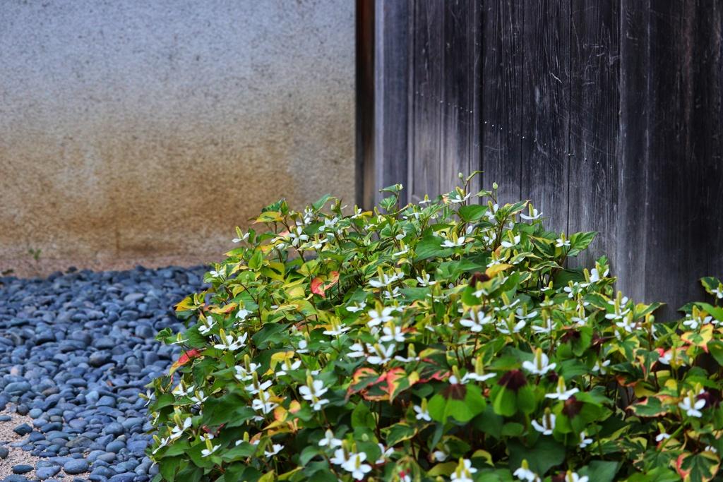 ドクダミの咲く庭