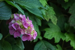 控えめな紫陽花