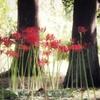 植物園の彼岸花