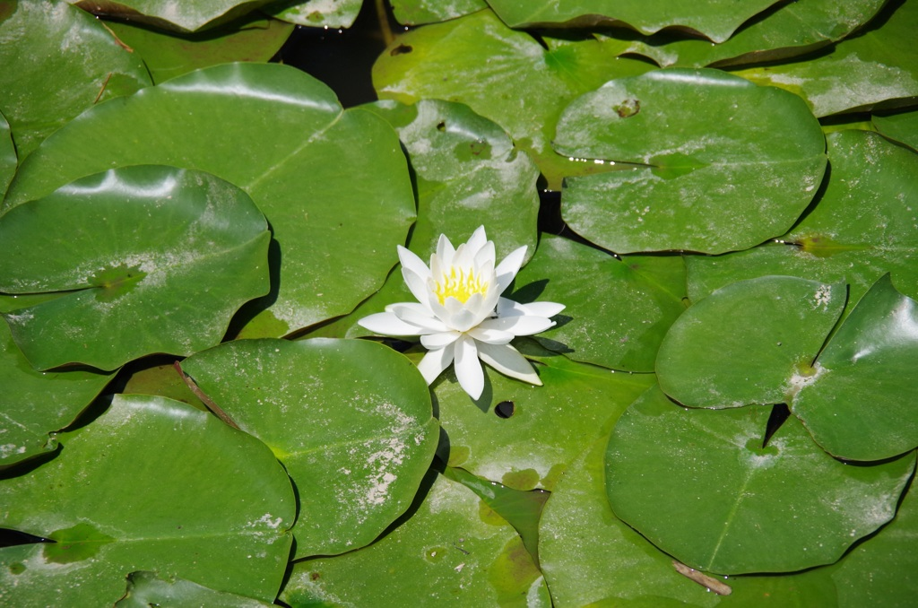 lotus-3741401