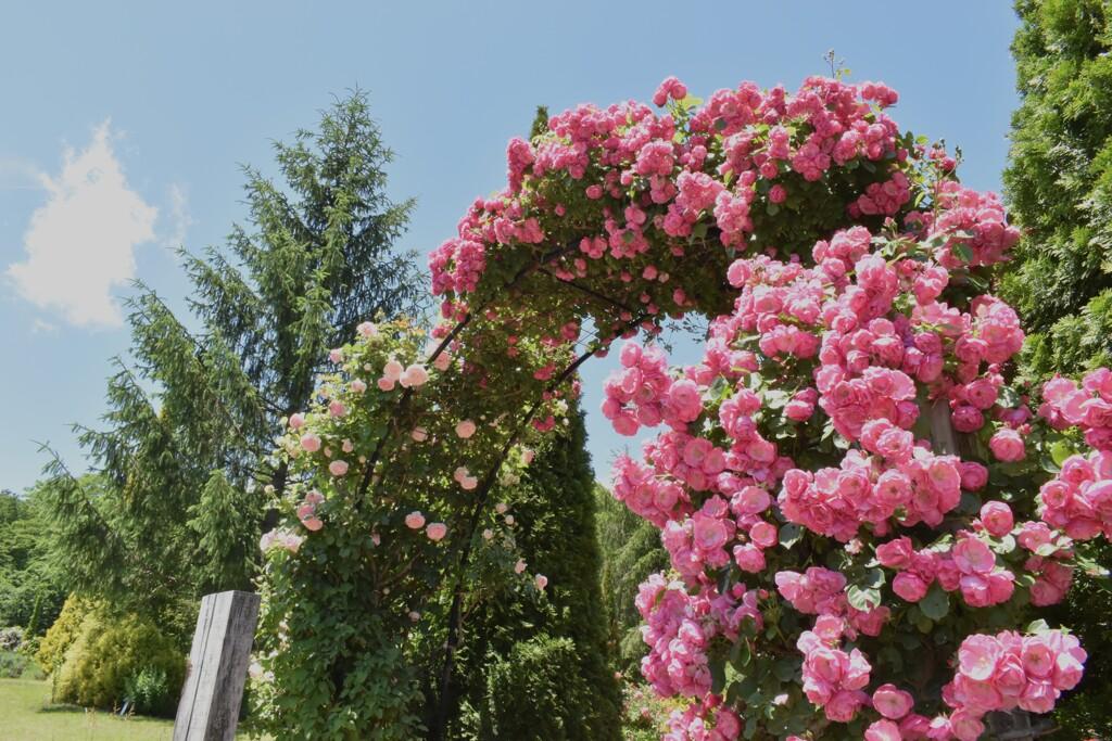薔薇園03