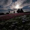 月と芝桜 ②