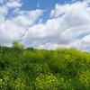 土手の菜の花と雲