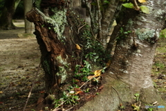 古木枯れる(_ _;)