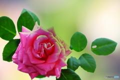 赤いバラの花(^o^)