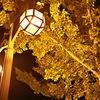 夜イチョウ秋気味