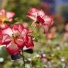 秋の大通公園のバラ
