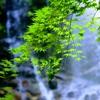 滝風に揺れる青紅葉