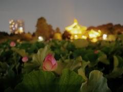 蓮の花(と辯天堂)
