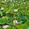 雨上がりの蓮田