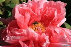 牡丹と花蜂