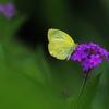 幸運の黄色いチョウ