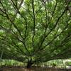新緑の大藤