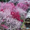 わたらせ渓谷鐵道と花桃