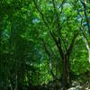 ブナの森で4