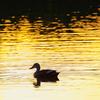夕陽に照らされた池