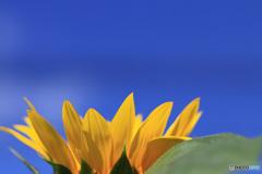 10月の向日葵