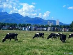 札幌、演習農場のウシ
