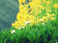 小菊の種類。