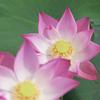 雨上がりハスの花。1