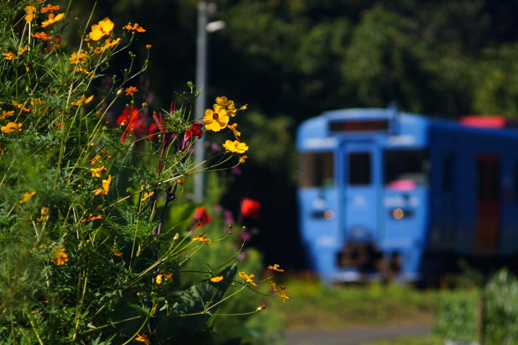 秋の花と青い列車