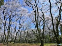 桜の森・・・今年もきっと