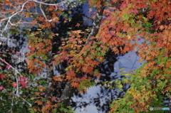 池の端の共演・・白枝・・青い水面・・そして紅葉