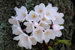 『胴ぶき桜』っていうんですね(^-^)