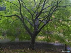 秋雨に待たされて・・・池の端の真打