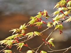 4月の紅葉…枝先の色づき