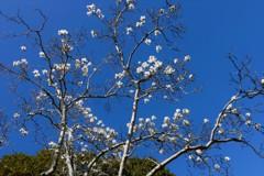 青い空・白い花