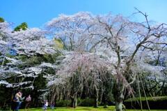 令和初の桜